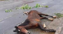 Égua com sinais de maus-tratos é resgatada caída em rua em Betim