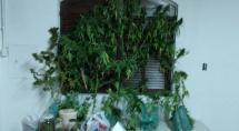 PM prende homens que plantavam maconha e vendiam droga no crédito em Betim